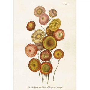 Posters med bild på chrystanthemum