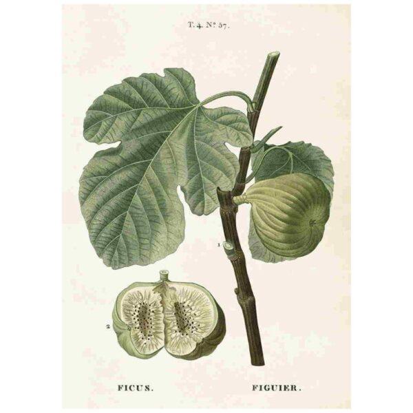 Poster med bild på fikon
