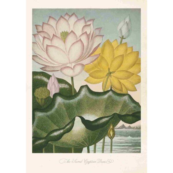 Poster med bild på indisk lotus
