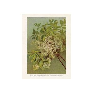 Poster med bild på kinesiskt snöflocksträd