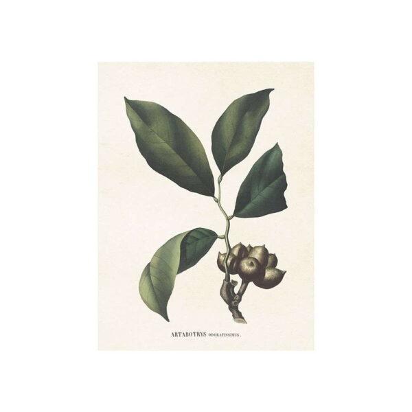 Poster med bild på kirimoja frukt