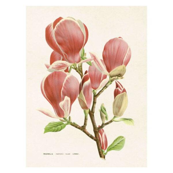 Poster med bild på magnolia blom