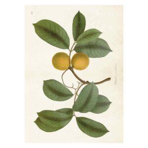 Poster med bild på oleander
