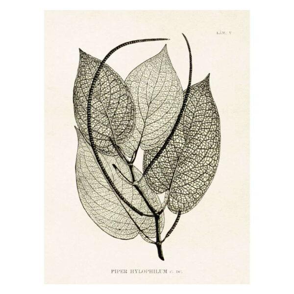 Poster med bild på pepparväxt