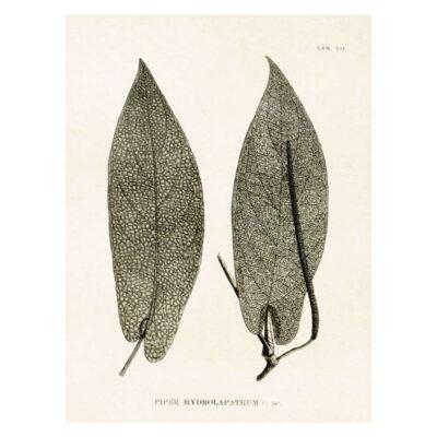 Poster med bild på pepparväxt två blad
