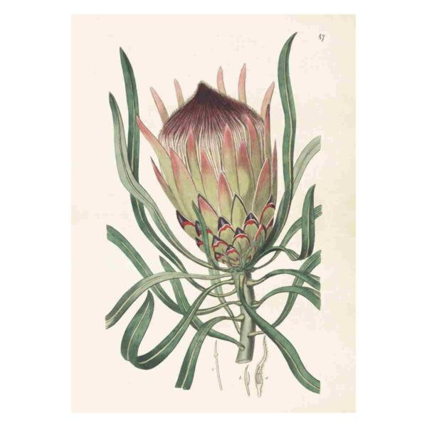Poster med bild av protea