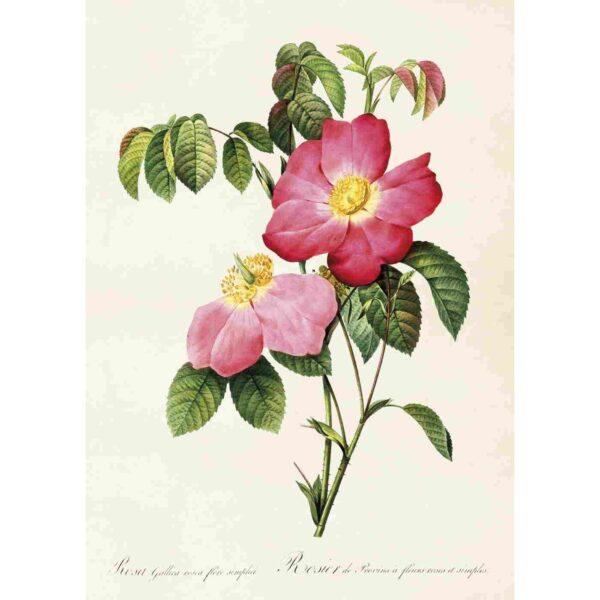 med bild på rosa ros