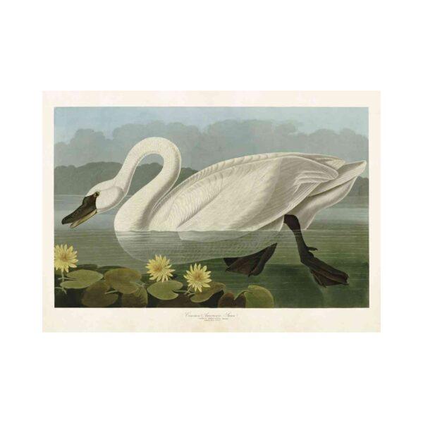 Poster med bild på en svan