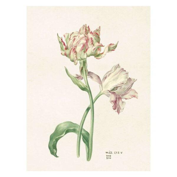 Poster med bild på tulpaner vita rosa