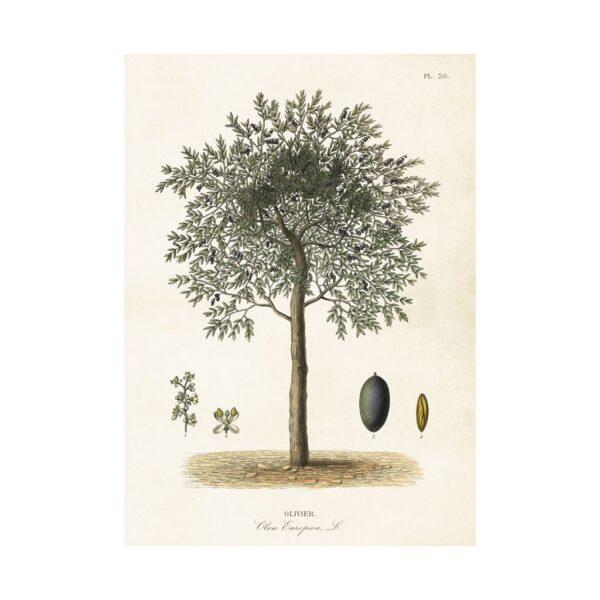 Poster 50*70cm Olivträd